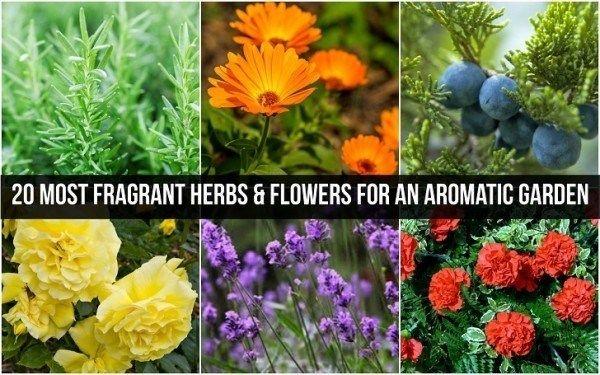 20 Mest duftende urter og blomster til en aromatisk hage