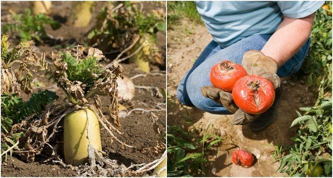 Hvorfor er ikke grønnsaker som vokser? 10 feil du gjør i grønnsakshagen